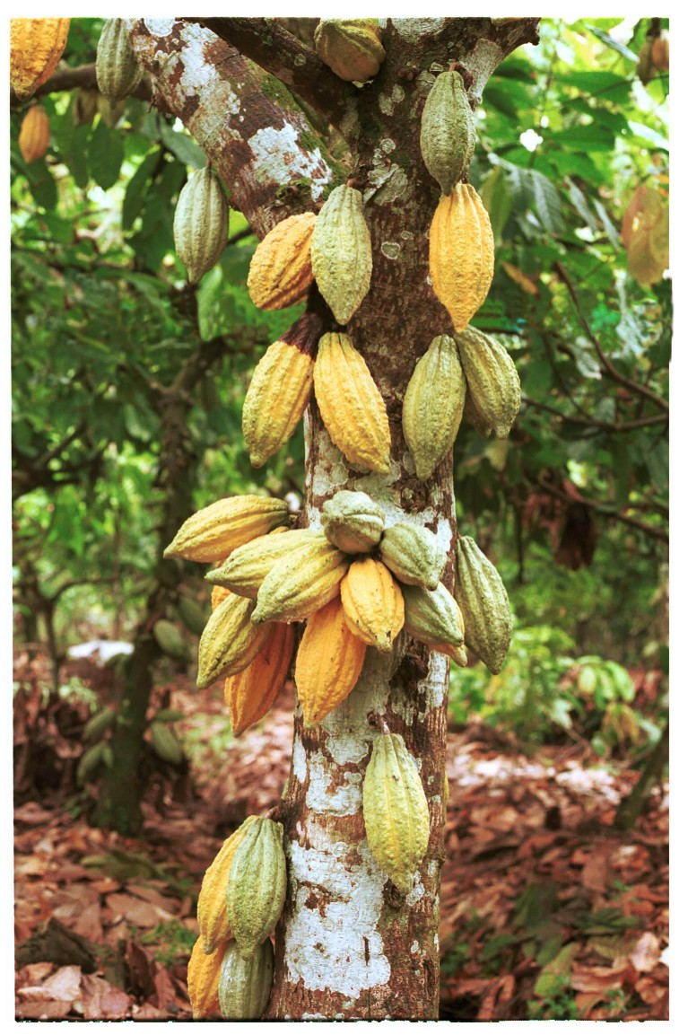 http://www.arentwesweet.com/images/cacao%20tree.jpg